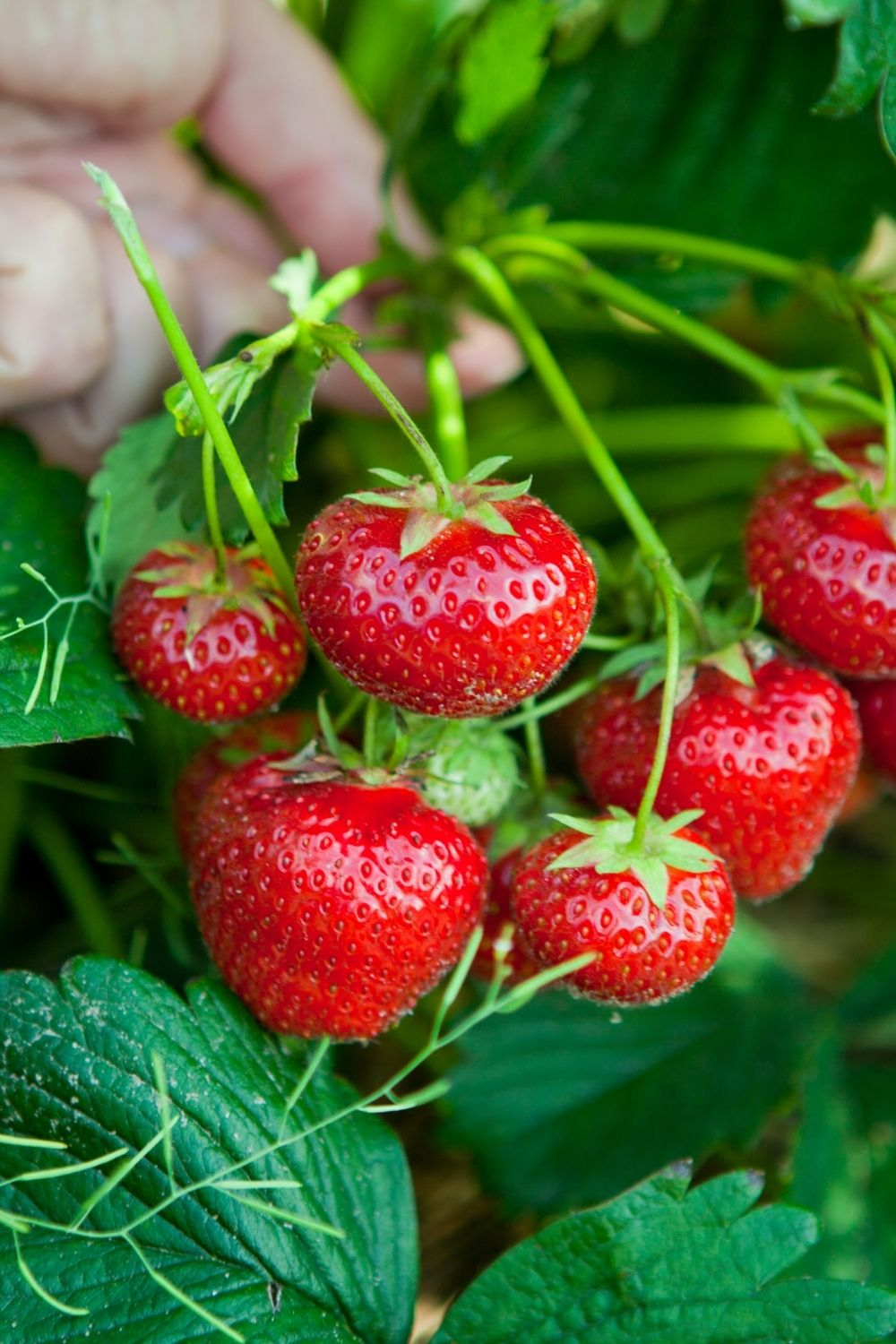 A hand supports a strawberry plant with several ripe, red strawberries on stems.