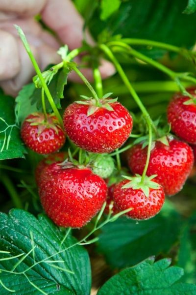a strawberry plant is suspended by a hand
