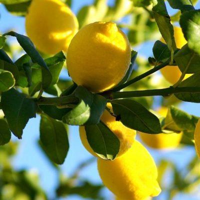 Is a Lemon a Fruit or a Vegetable? A Science Teacher Explains