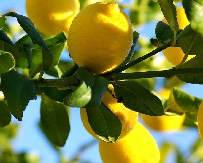 clusters of lemons on a lemon tree