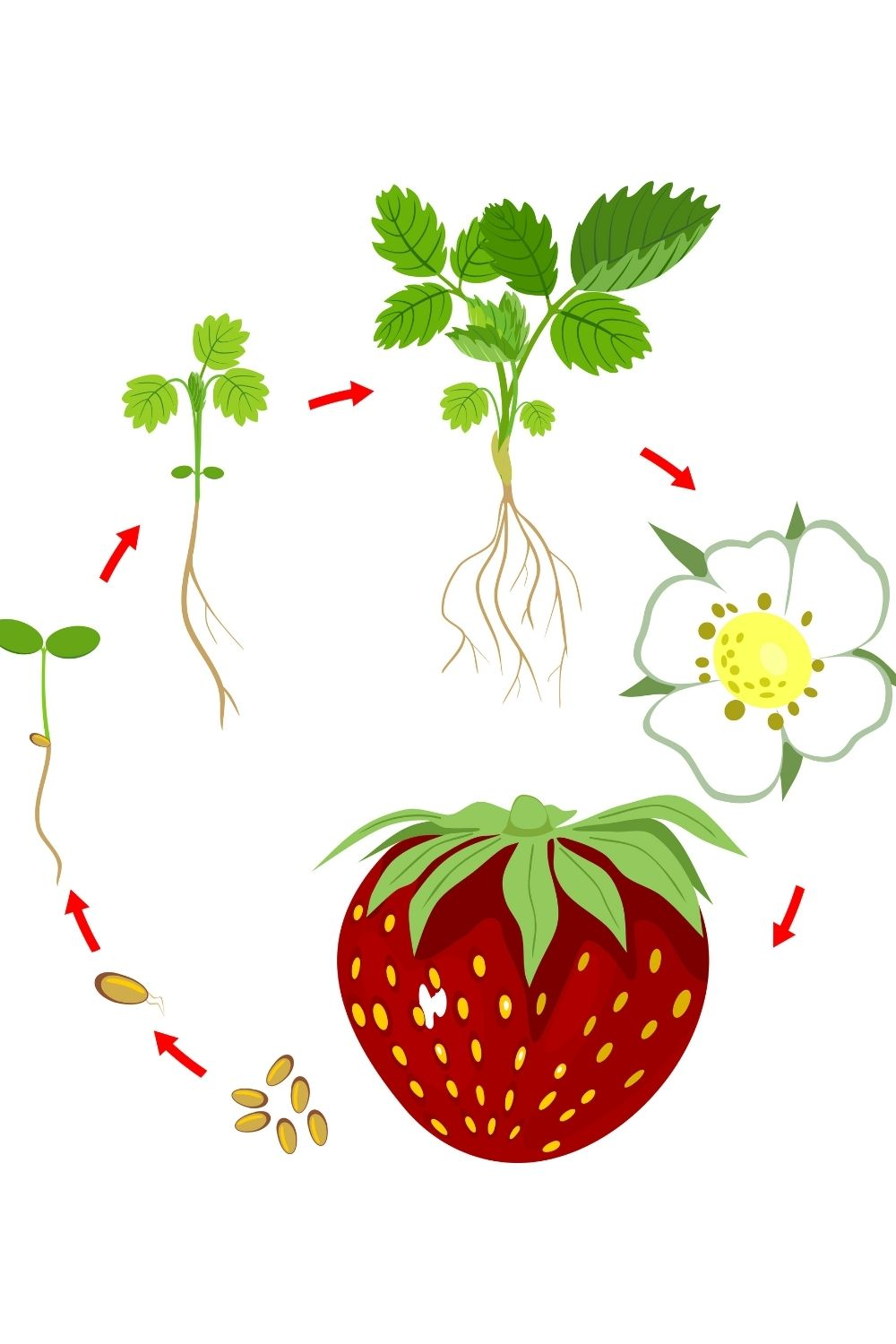an illustration of the growth cycle of the strawberry plant