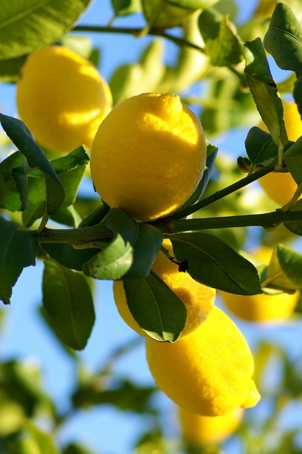 several ripe lemons hang from the branches of a lemon tree