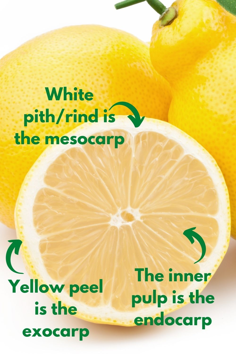 cross-section of a lemon, showing the endocarp, mesocarp, and expcarp that classify it as a berry