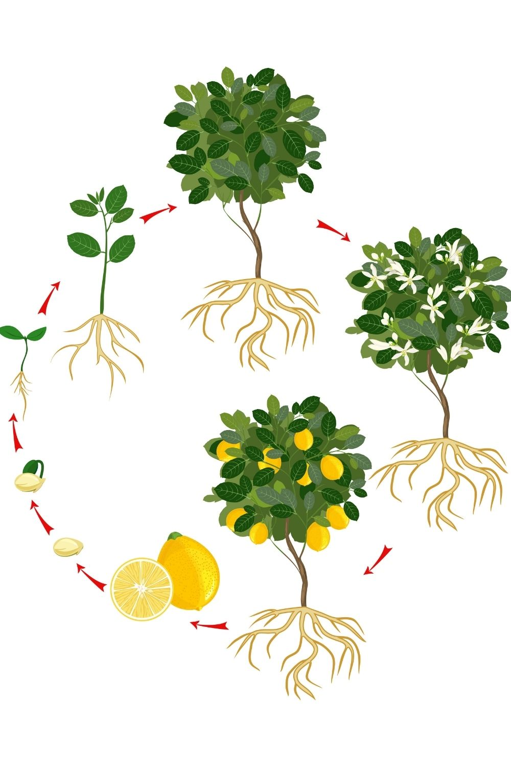 illustrated growth cycle of a lemon plant