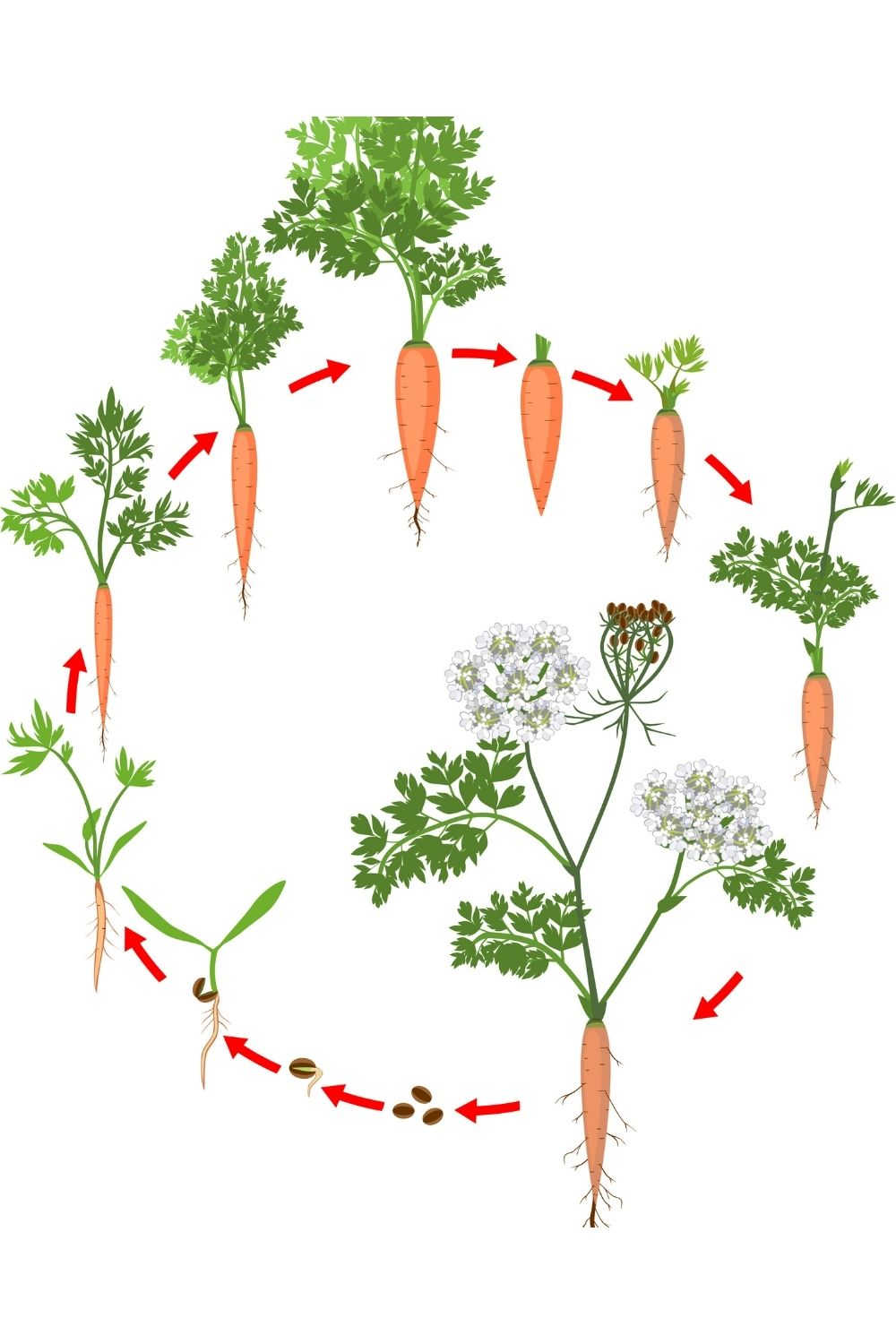 illustrated image showing the growth cycle of a carrot over a period of two years, from seed to flowering carrot