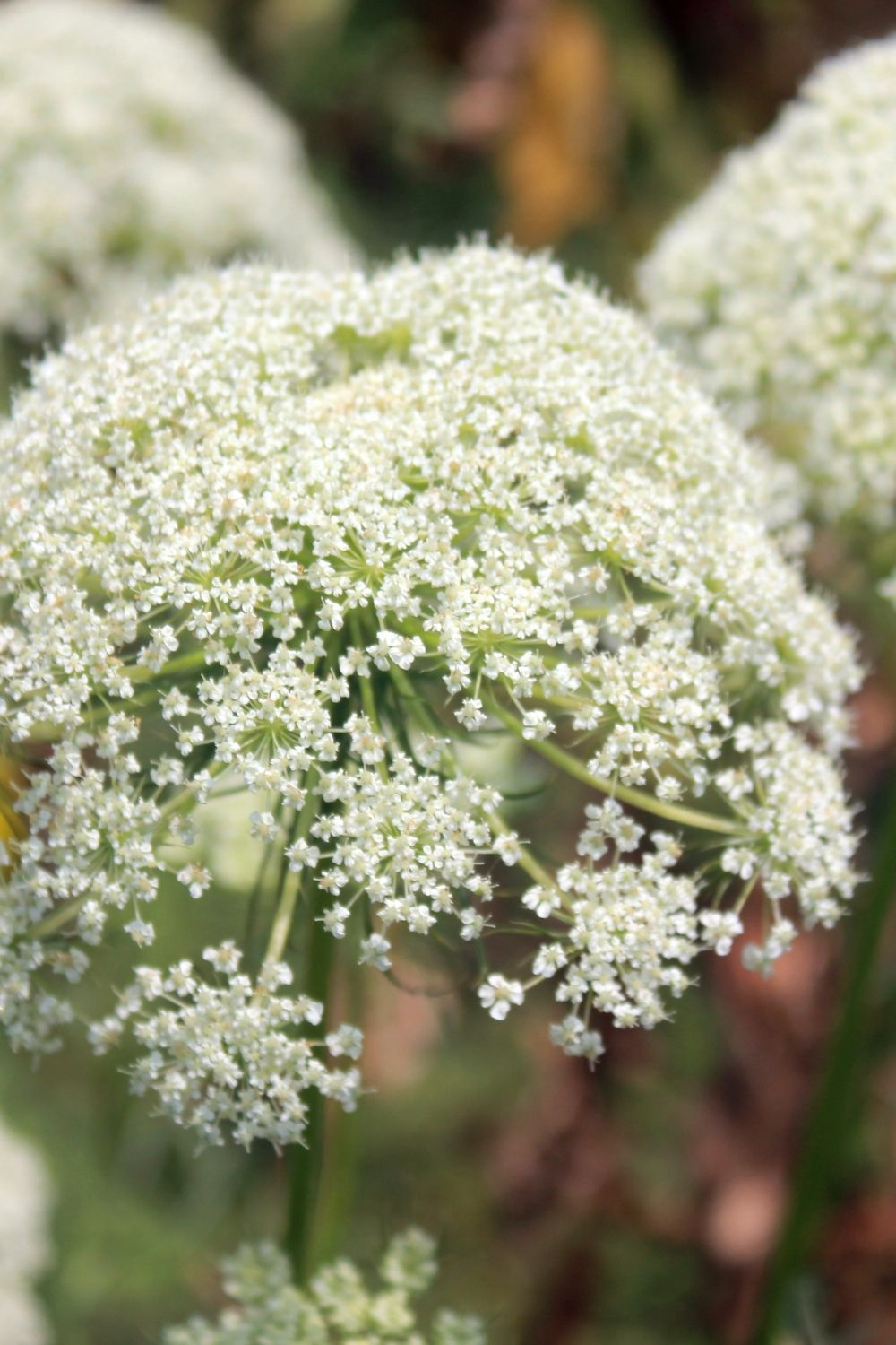 close-up image of carrot flowers during the second year of growth